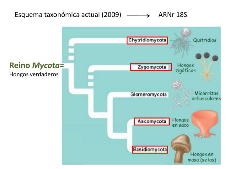 Esquema taxonómica actual (2009)