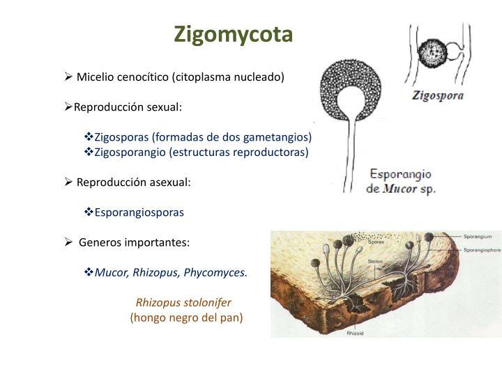 Zigomycota