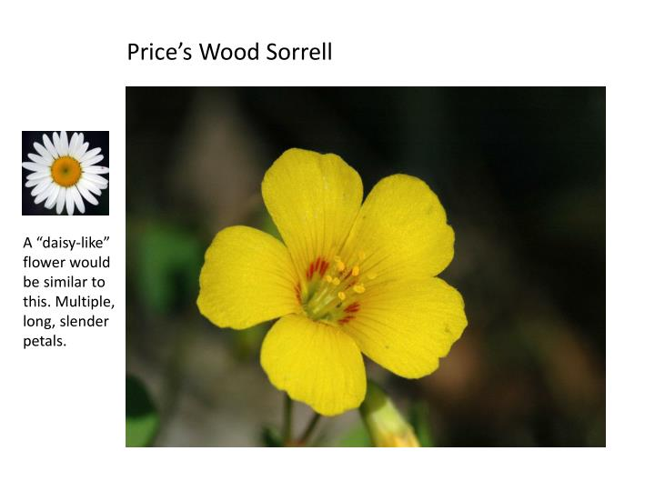 Price's Wood Sorrell