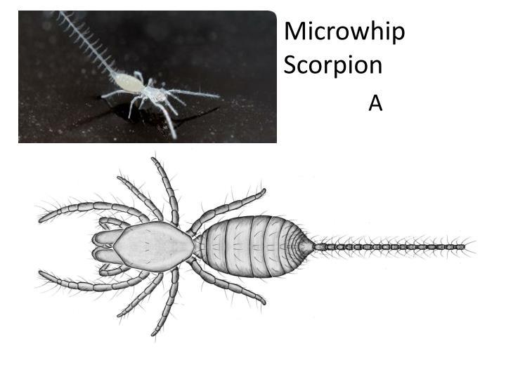 Microwhip