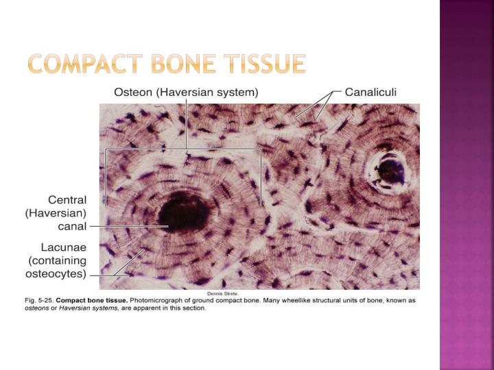Compact bone tissue