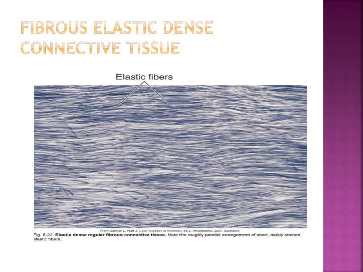 Fibrous elastic dense connective tissue