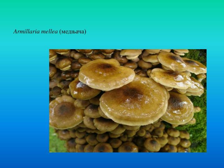Armillaria