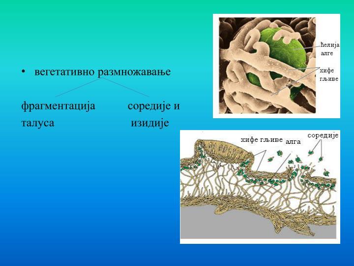 вегетативно размножавање