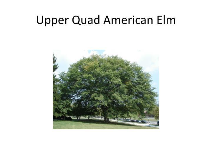Upper Quad American Elm