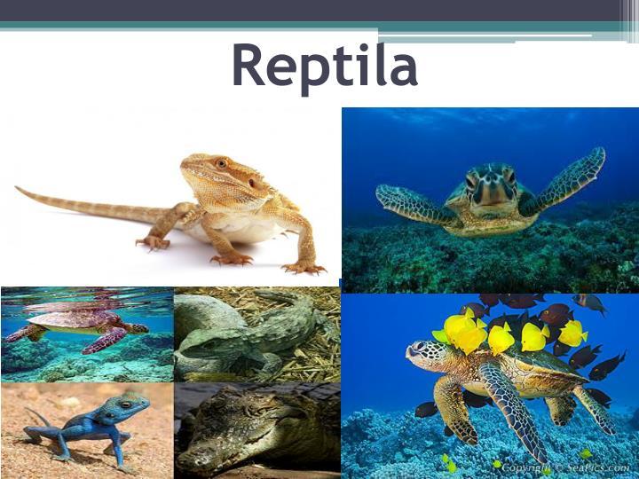Reptila