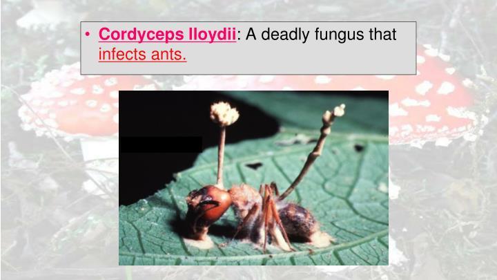 Cordyceps lloydii
