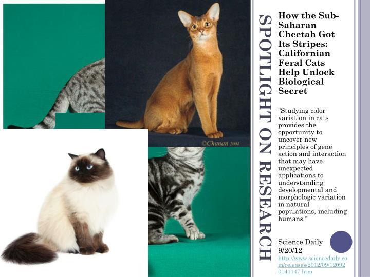 How the Sub-Saharan Cheetah Got Its Stripes: Californian Feral Cats Help Unlock Biological Secret