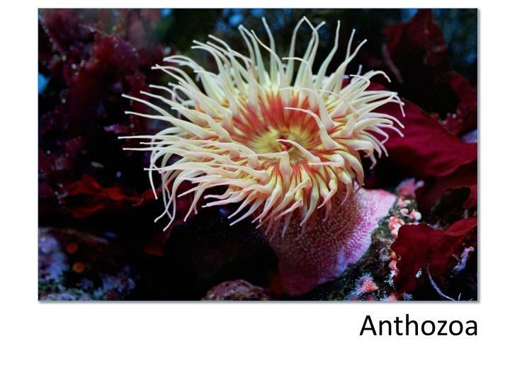 Anthozoa