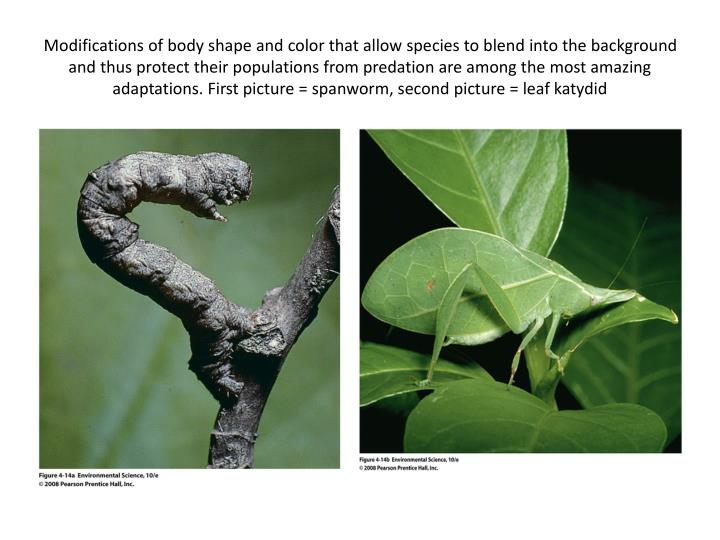 Modifications of body shape and color that allow species to blend into the background and thus protect their populations from predation are among the most amazing adaptations. First picture = spanworm, second picture = leaf katydid
