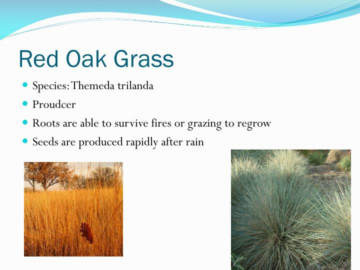 Red Oak Grass