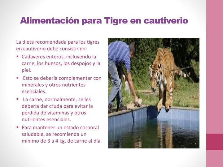 Alimentación para Tigre en cautiverio