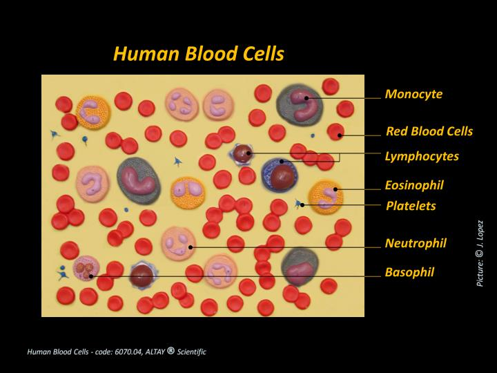 Human Blood Cells