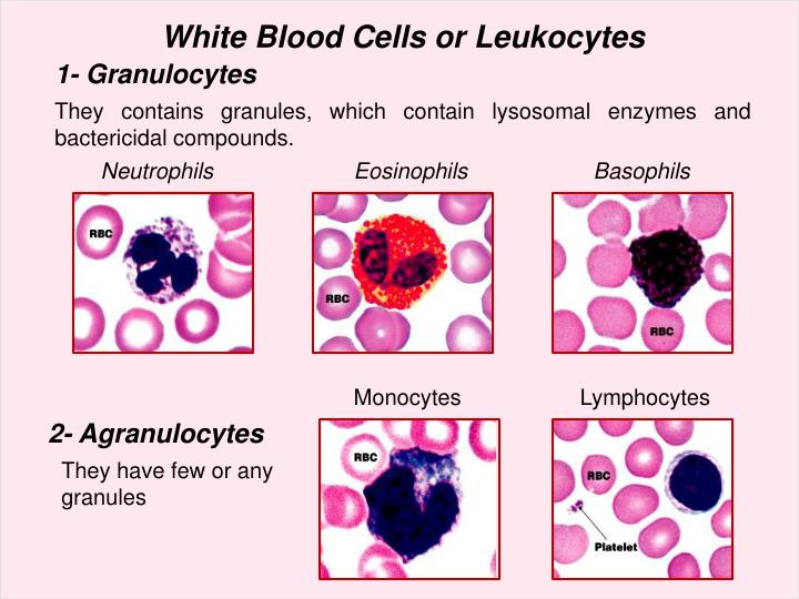 White Blood Cells or Leukocytes