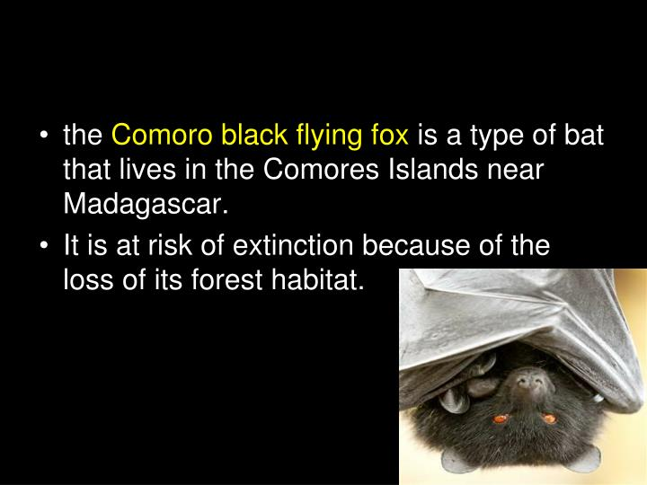 Comoro Black Flying Fox
