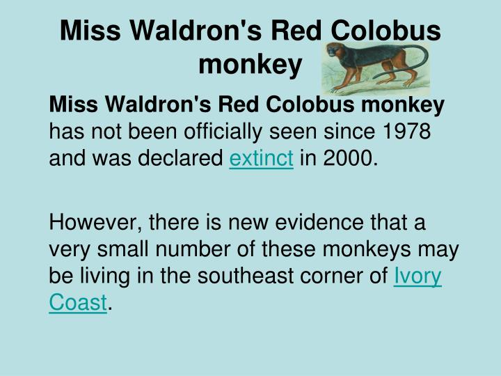 Miss Waldron's Red Colobus monkey