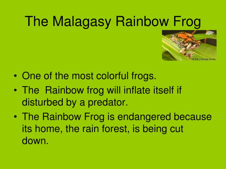 The Malagasy Rainbow Frog