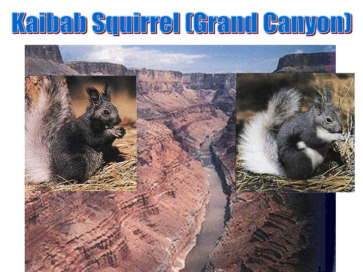 Kaibab Squirrel (Grand Canyon)