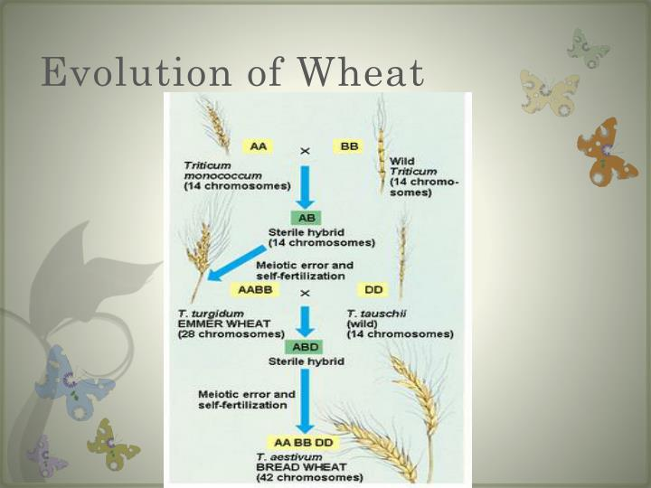 Evolution of Wheat