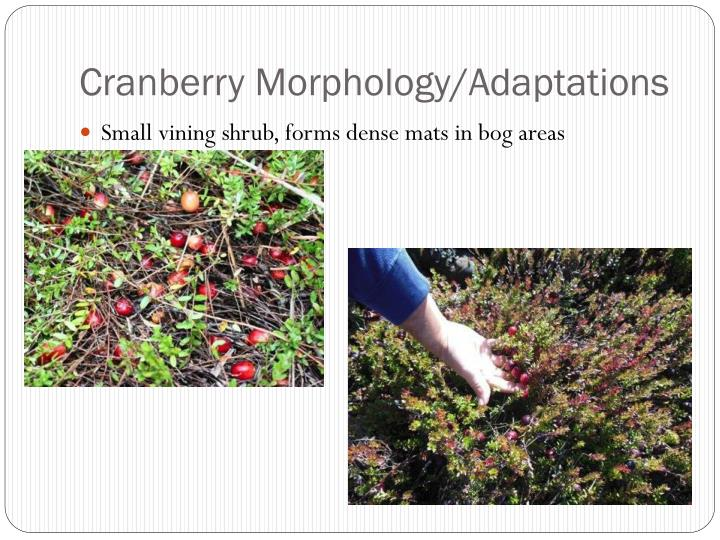 Cranberry morphology adaptations