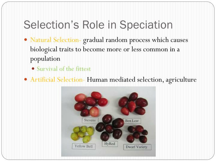 Selection's Role in Speciation