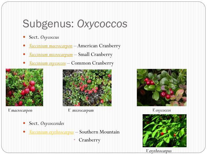 Subgenus: