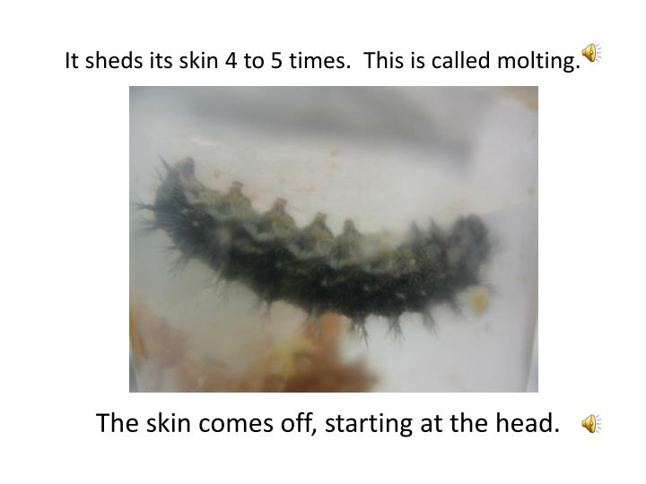 It sheds its skin 4 to 5 times.  This is called molting.