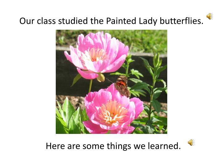 Our class studied the painted lady butterflies