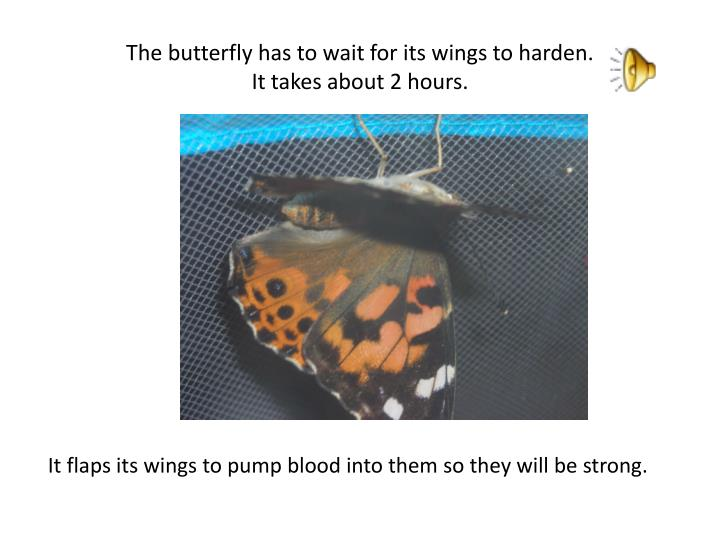 The butterfly has to wait for its wings to harden.