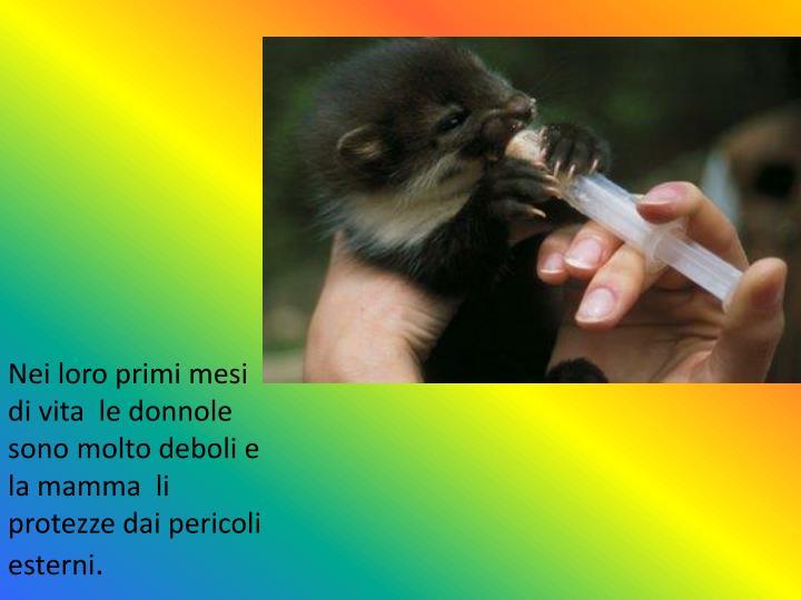 Nei loro primi mesi di vita  le donnole sono molto deboli e la mamma  li protezze dai pericoli esterni