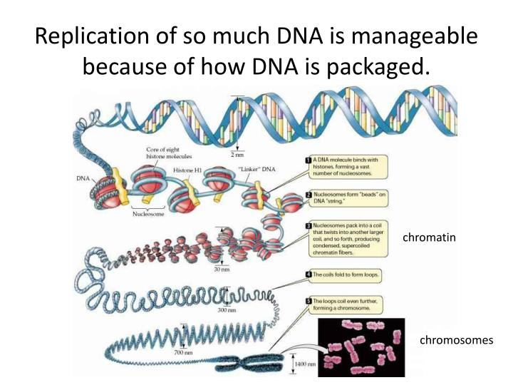 Replication of so much DNA is manageable because of how DNA is packaged.