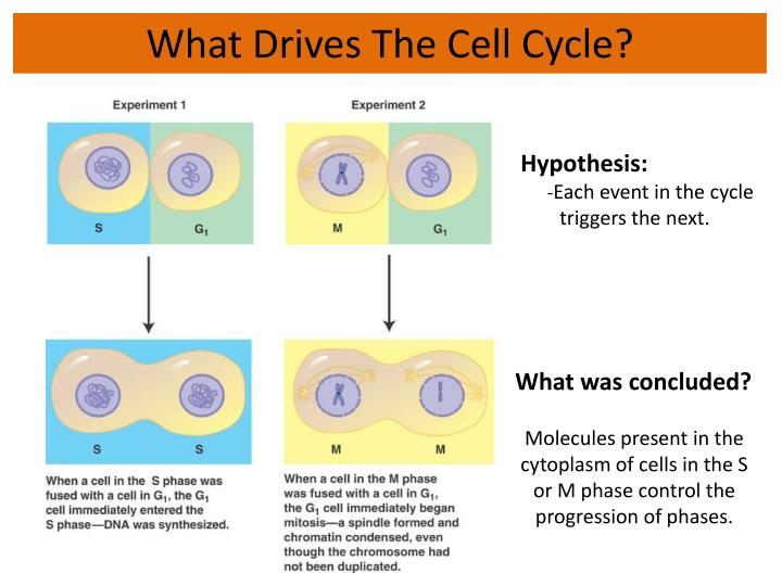 What Drives The Cell Cycle?