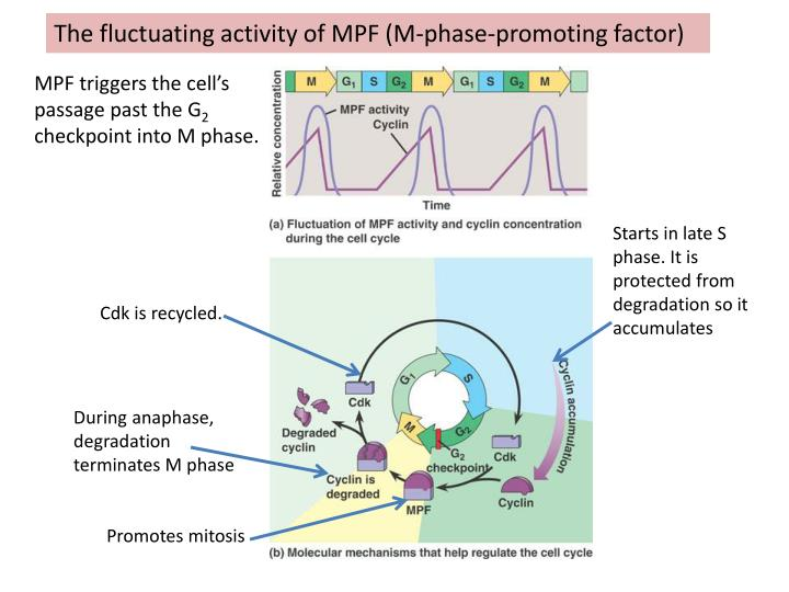 The fluctuating activity of MPF (M-phase-promoting factor)