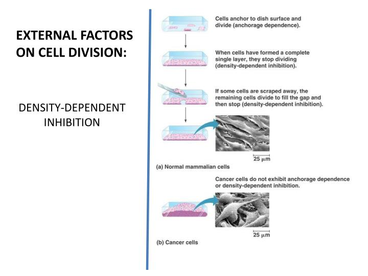 EXTERNAL FACTORS ON CELL DIVISION: