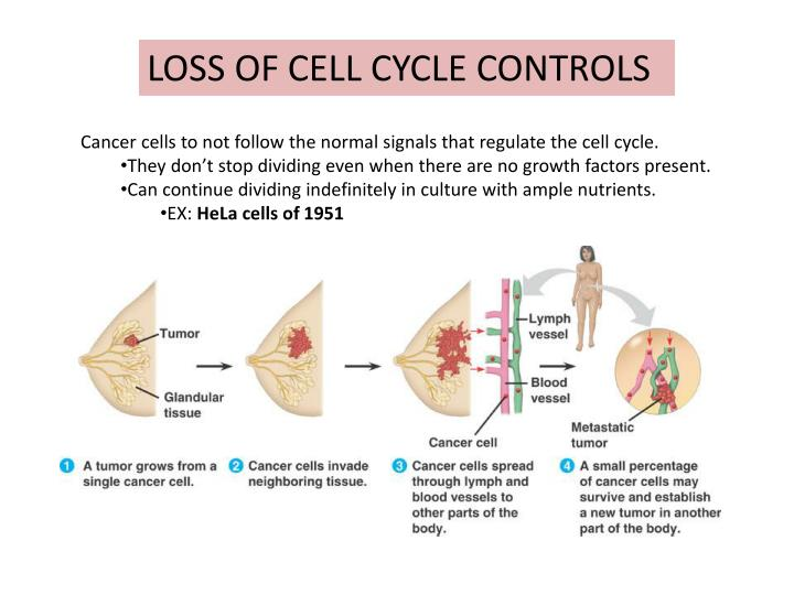 LOSS OF CELL CYCLE CONTROLS
