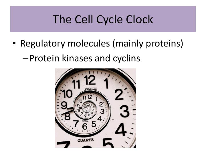 The Cell Cycle Clock