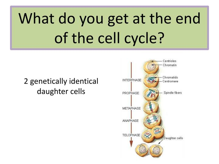 What do you get at the end of the cell cycle?