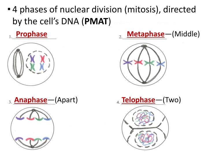 4 phases of nuclear division (mitosis), directed by the cell's DNA (