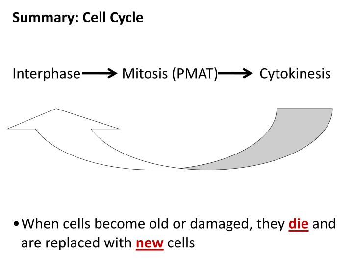 Summary: Cell Cycle