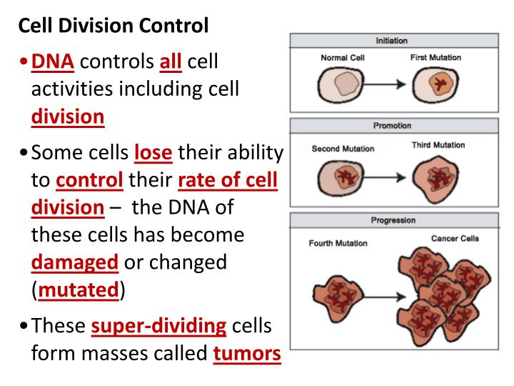 Cell Division Control