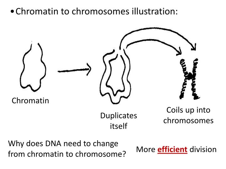 Chromatin to chromosomes illustration: