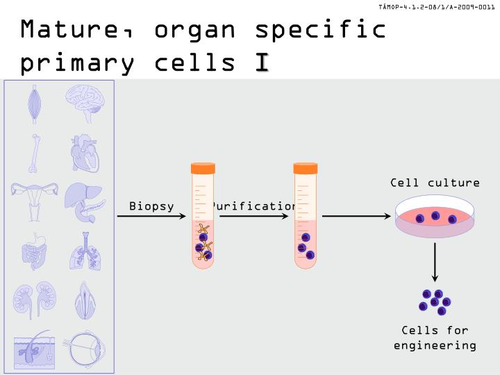 Mature, organ specific primary cells