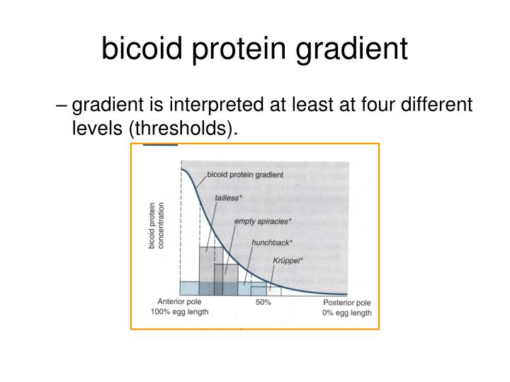 bicoid protein gradient