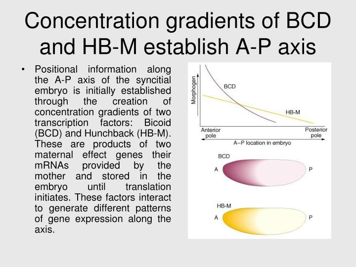 Concentration gradients of BCD and HB-M establish A-P axis