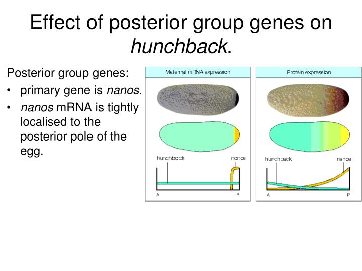 Effect of posterior group genes on
