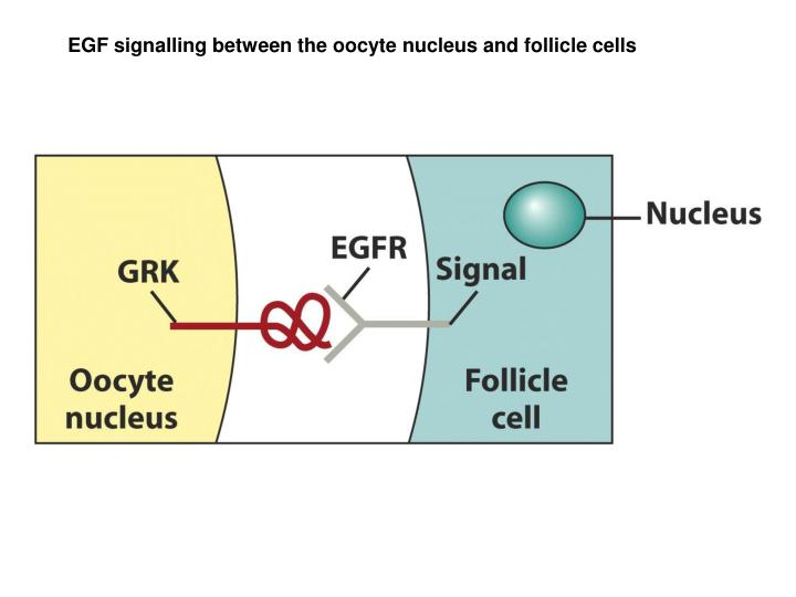 EGF signalling between the oocyte nucleus and follicle cells