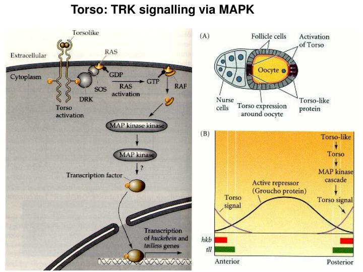 Torso: TRK signalling via MAPK