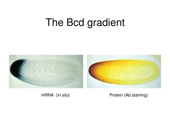 The Bcd gradient