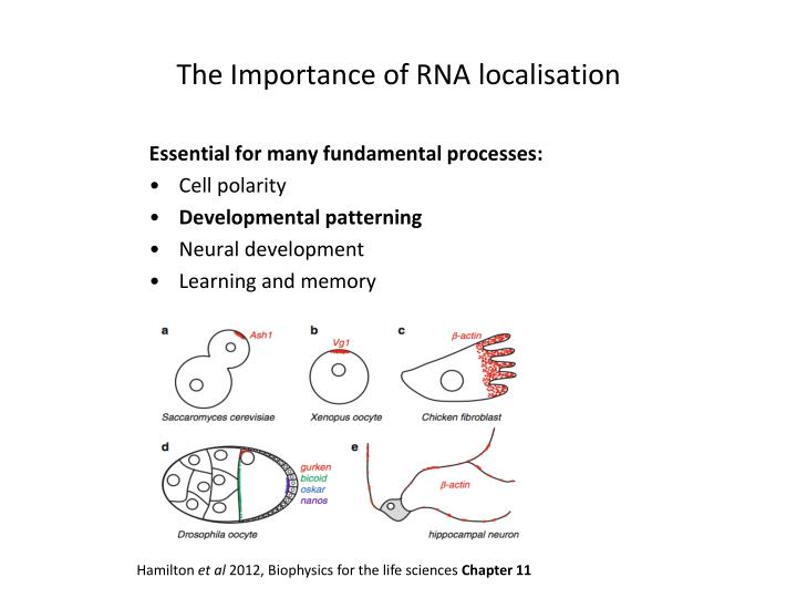 The Importance of RNA