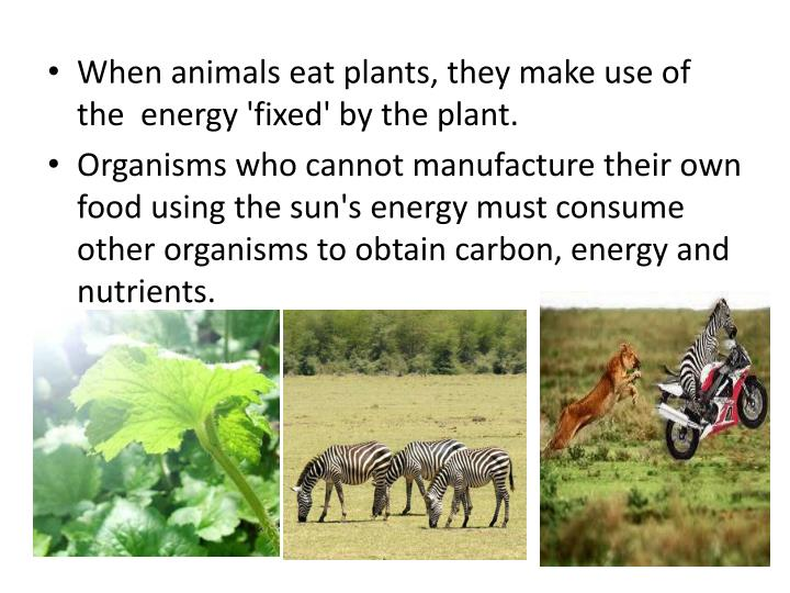 When animals eat plants, they make use of the  energy 'fixed' by the plant.